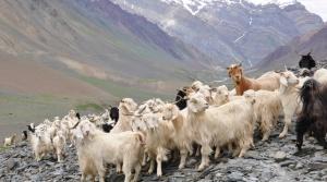 Cashmere_goats__Source_FlickrJelle_Visser
