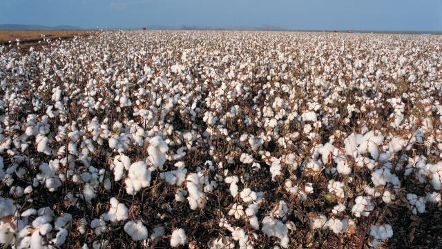 gmo-cotton